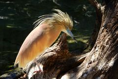 Heron Hairy, Ardeola Ralloides Royalty Free Stock Image
