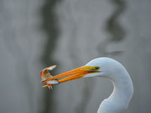 Heron having Breakfest. White heron enjoying breakfast in Palacios, Texas stock photo