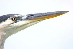 Heron Head Royalty Free Stock Images
