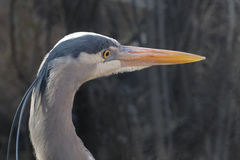 Heron Head Stock Images