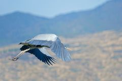 Heron. A heron is flying in the sky. Scientific name: Ardea cinerea Royalty Free Stock Photo