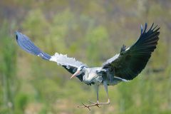 Heron. A heron is flying in the sky. Scientific name: Ardea cinerea Stock Photography