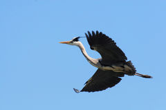 Heron heronry Royalty Free Stock Image