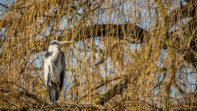Heron. The herons are long-legged freshwater and coastal birds in the family Ardeidae, with 64 recognised species. The classification of the individual heron/ stock photos
