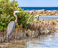 Heron hidden in cane thicket Royalty Free Stock Images
