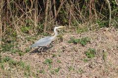 Heron in high grass hunting for food in a park in Nieuwerkerk aan den IJssel in Zuidplas. stock photography