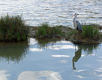 Heron on his island. Stock Photos