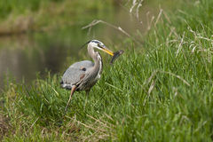 Heron holds fish in beak. Royalty Free Stock Photos
