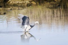 Heron hunting 02 Royalty Free Stock Photos