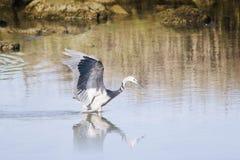 Heron hunting 02 Royalty Free Stock Photos