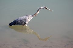 Heron Hunting Royalty Free Stock Photos