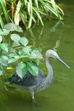 Heron Hunting Stock Photography