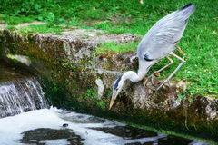 Heron hunting for fish Stock Photo