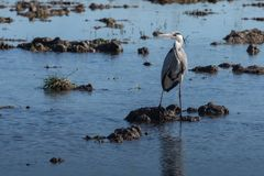 A heron hunting in the lagoon. Adult grey heron ardea cinerea on the hunt in natural park of Albufera, Valencia, Spain. Natural stock photos