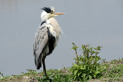 Heron hunting Royalty Free Stock Images