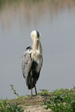 Heron hunting Royalty Free Stock Photography