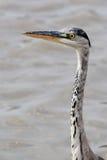 Heron hunting Royalty Free Stock Image