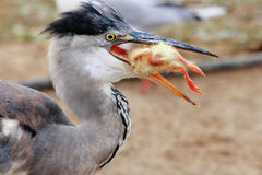 Heron hunting Stock Images