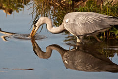 Heron hunting for prey Royalty Free Stock Photo