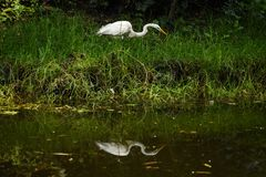 A heron hunting at the river royalty free stock photography