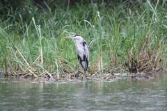 Heron hunting on the riverside. Stock Images