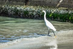 A heron hunting in the sea. White heron on the hunt stock photography