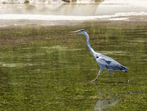Heron hunts Royalty Free Stock Photography