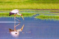 A heron hunts in a lake in Kenya. Nakuru National Park. royalty free stock photo