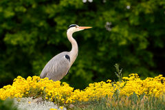 Heron hunts Royalty Free Stock Photos