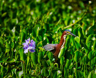 Heron and Hyacinth. Green Heron (Butorides virescens) fishing amongst the Water Hyacinth (Eichhornia crassipes).  Shot at Brazos Bend State Park, near Houston Royalty Free Stock Photography