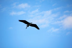 Heron i flyg Arkivfoton