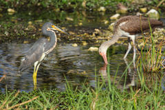 Heron and ibis in a pool in the Everglades of Florida. Stock Photos