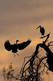 Heron and Ibis at Sunset Stock Photography