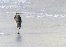Heron on Ice Stock Photo