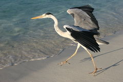 Heron in Indian Ocean Stock Photo