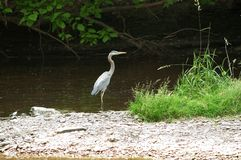 Heron on island. A great blue heron stands on a small, rocky island in the middle of a small stream.  Bird is in profile Stock Photography