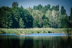 Heron on an island of reeds on the lake royalty free stock photography