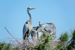 Heron nest. The heron and its babys stand in nest on pine tree. Scientific name: Ardea cinerea Stock Photography