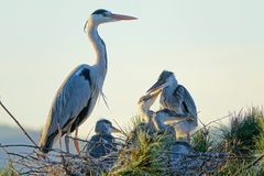 Heron nest Royalty Free Stock Images
