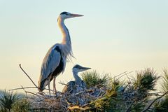 Heron nest. The heron and its babys stand in nest on pine tree. Scientific name: Ardea cinerea Royalty Free Stock Photo