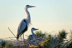 Heron nest Royalty Free Stock Photo