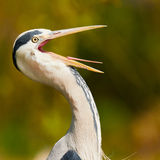 Heron with its beak wide open Stock Photography
