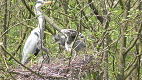 Heron and its Chicks stock video