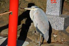 Heron. A heron at the japanese shrine royalty free stock photography