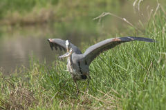Heron just caught a fish. Royalty Free Stock Photography