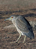 Heron Stock Images
