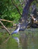 Heron in Kerkini lake,Greece Royalty Free Stock Image