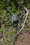 heron kolorowego tri Zdjęcia Royalty Free