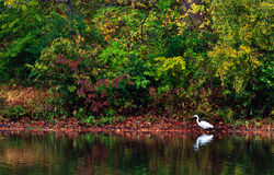 Heron on the lake in autumn. A solitary heron stands next the changing colors of autumn leaves, at Centennial Lake in Columbia Maryland stock photography