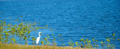 Heron by the lake Stock Photography